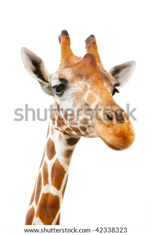 Closeup portrait of giraffe over white background with focus on eyes