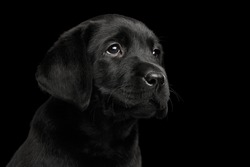 Closeup Portrait of Gorgeous Labrador Retriever puppy sad looking up isolated on black background, front view
