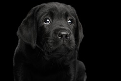Closeup Portrait of Gorgeous Labrador Retriever puppy with sad eyes looking up ask isolated on black background, front view