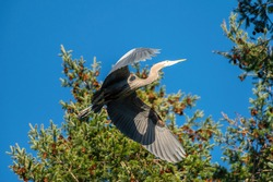 Closeup portrait of Great blue heron flying on top of a tree, a very common waterside bird in north america.