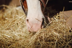 closeup portrait of horse nose and mouth eating hay from feeder in horse paddock in autumn in daytime