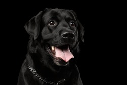 Closeup Portrait of Labrador Dog, Kind Looking, Front view,  Isolated on black background