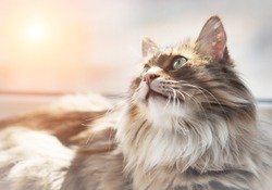 Closeup portrait of long haired cat and soft focus of sunset in background