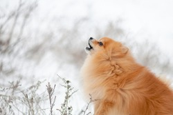 Closeup Portrait of Red Pomeranian Spitz howls. Profile view. Brown pomeranian puppy dog. Barking small dog breed Pomeranian Spitz. Winter puppy. Cute little spitz. adorable red/orange Pom