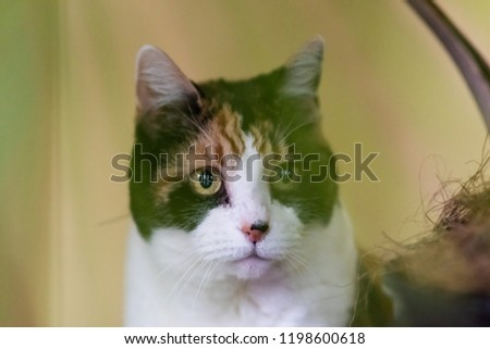 Closeup portrait of sad, curious calico cat hiding behind green potted palm tree, plant in pot indoors, indoor by wall #1198600618