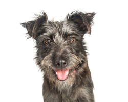 Closeup portrait of scruffy grey color terrier dog with happy expression