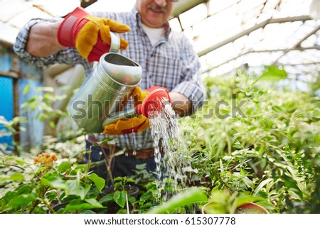 Closeup portrait of senior  man taking care of trees and shrubs in glasshouse, watering plants using metal can #615307778