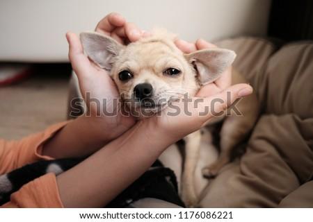 Closeup portrait of small funny beige mini chihuahua dog, puppy