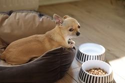 Closeup portrait of small funny beige mini chihuahua dog, puppy laying near plates with dog food
