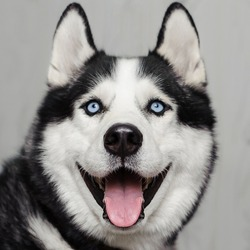Closeup portrait of smiling dog. Siberian Husky dog black and white colour with blue eyes tongue out