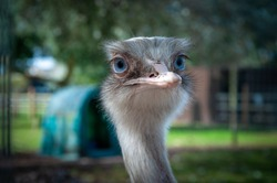 Closeup portrait of the head of a big blue eyed Rhea flightless bird, similar to Ostrich and Emu, at Tattershall Farm Park in Lincolnshire UK