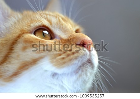 Closeup portrait of the head of a red and white cat with beautiful amber eyes / macro