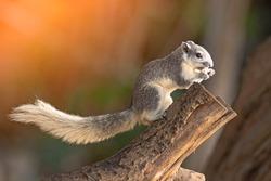 Closeup portrait of variable squirrel Callosciurus finlaysonii, sitting on a tree branch in a Thailand park
