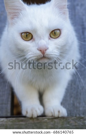 Closeup portrait of white fluffy cat with brown and green light eyes. He is looking at the camera. Against on the rustic wooden background. #686140765