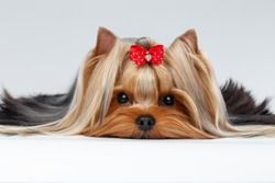 Closeup Portrait of Yorkshire Terrier Dog Lying on White background