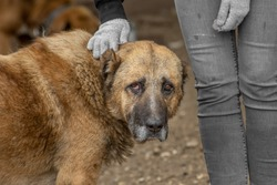 closeup portrait sad homeless abandoned brown old dog with human hands in shelter for the dogs