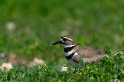 Closeup profile of a Killdeer bird with its distinctive stripes and orange ringed eyes sitting on its rocky nest surrounded by green clover and weeds.