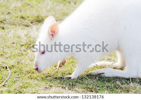 Closeup profile of albino wallaby eating grass