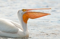 Closeup profile of American white pelican, pelecanus erythrorhynchos, with its beak open showing off its throat sac