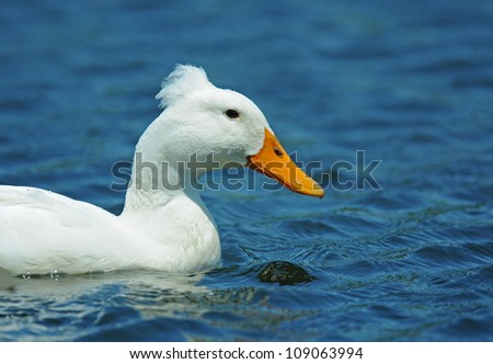 Closeup profile of white duck on blue water