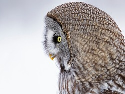 Closeup profile portrait of the Great Grey Owl, Strix nebulosa on a solid background