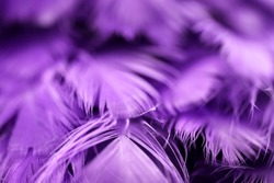 Closeup purple feather ,Multicolored feathers ,background texture, abstract