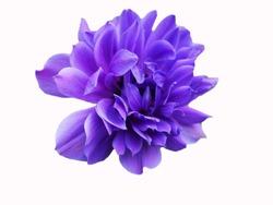 closeup purple fresh Anemone flower with white background