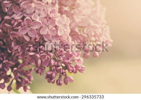 closeup purple lilac  flowers with soft focus, natural summer background