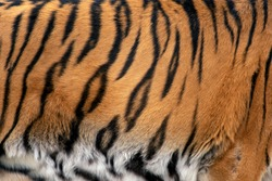 Closeup real tiger skin texture. Tiger fur background texture image background