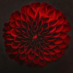 closeup red flower dahlia on dark background