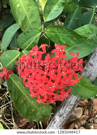 Closeup red flower, Indian Jasmine  (scientific name Ixora chinensis
