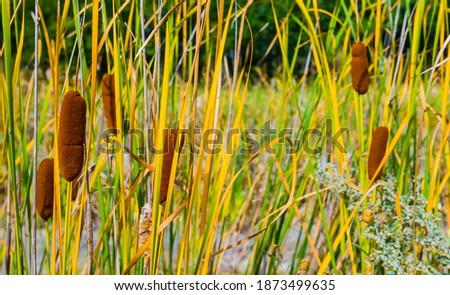 closeup reed bush in the swamp, natural outdoor background Foto stock ©