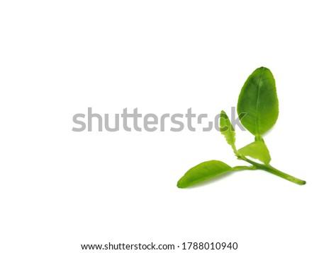 Closeup rotten lemon leaves on white background. Leaf spot. Bacterial bright on the lemon leaves. Green leaves on white background. Fresh leaves. Tropical plant. Lemon leaves.Rust