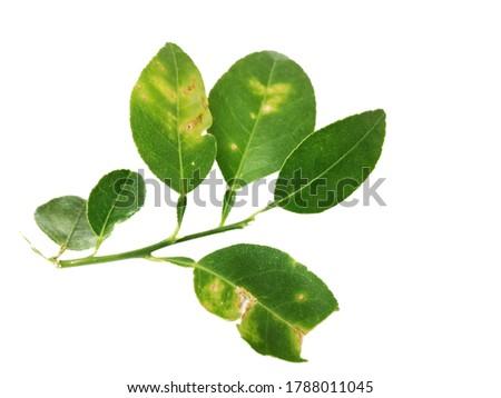 Closeup rotten lemon leaves on white background. Leaf spot. Bacterial bright on the lemon leaves. Green leaves on white background. Fresh leaves. Tropical plant. Lemon leaves.Rust Foto stock ©