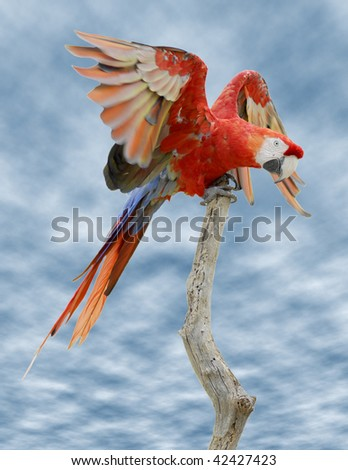 Closeup Scarlet Macaw (Ara macao) on wood perch on cloudy blue sky background