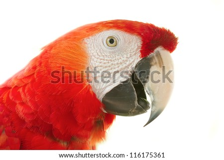 Closeup Scarlet macaws in nature on white background