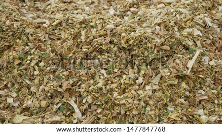 Closeup sectional view of fresh finely chopped maize plants and cracked maize kernels in a silage clamp on a dairy farm where it is stored and left to ferment to be used as cow feed in the winter
