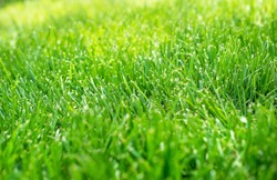 Closeup shallow focus green grass lawn in sunshine, healthy lawn, damaged grass, new overseed, seed, grass, fertilizer application, thick grass, no weeds, weed prevention, tall fescue