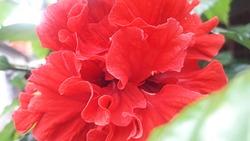 closeup shot a beautiful redflower
