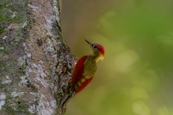 Closeup shot of a beautiful Crimson-winged Yellownape Woodpecker (Picus puniceud). Tropical Rainforest