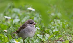 closeup shot of a common house sparow Passer domesticus in nature