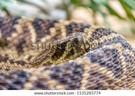 closeup shot of a Eastern diamondback rattlesnake #1135283774
