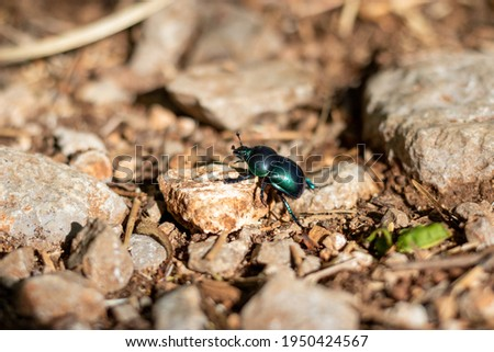 Closeup shot of a metallic dor beetle also called trypocopris vernalis on the ground climbing onto a  small stone. Stockfoto ©