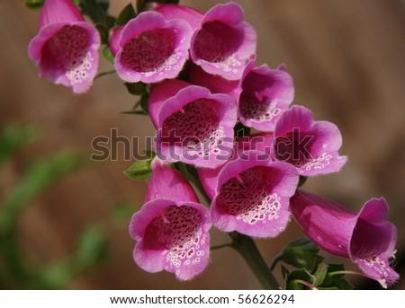 Closeup Shot Of A Pink Foxglove Flower Ez Canvas