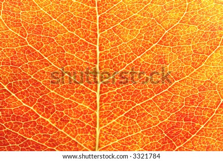 Closeup shot of a red leaf revealing the leaf's structure and texture and beautiful color.