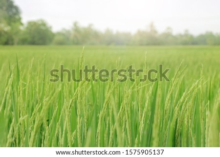 Closeup Shot of A Rice Field or Paddy Field, Rice field in farming countryside. #1575905137