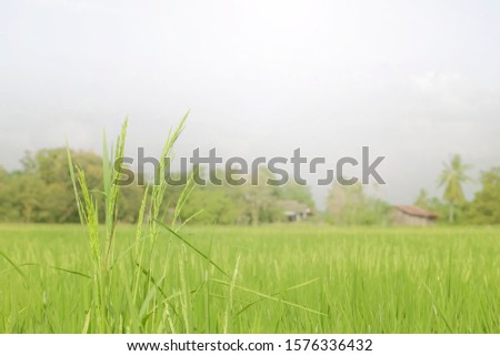 Closeup Shot of A Rice Field or Paddy Field, Rice field in farming countryside. #1576336432