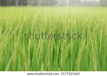 Closeup Shot of A Rice Field or Paddy Field, Rice field in farming countryside. #1577221663