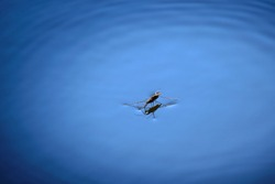 Closeup shot of a water strider, or water skater, resting on the surface of water in a pond.
