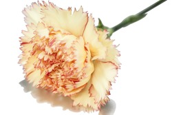 closeup shot of a yellow carnation flower with red fringed petals in blossom on a fresh green stem